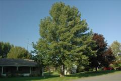 Protected ash tree