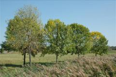 Signs of early infestation in crowns of small trees