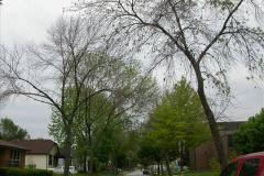 Street trees infested