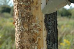 Emerald Ash borer larvae bark removed