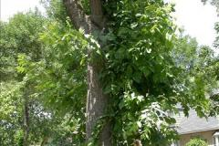 Epicormic shoots developed on an infested ash tree